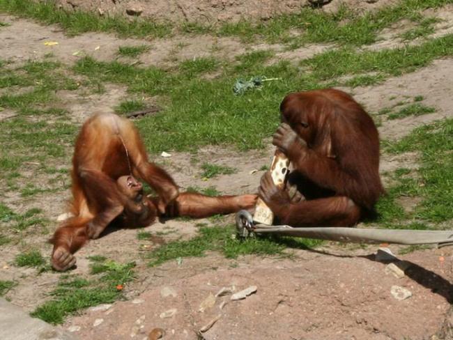 Фото прикол  про обезьян и мочеиспускание