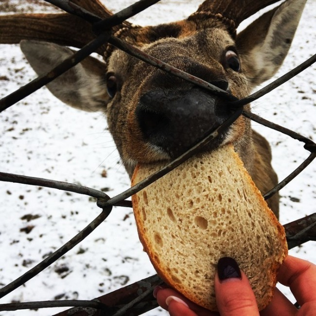 Фото прикол  про оленей и хлеб