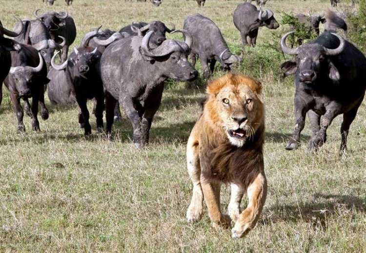 Фото прикол  про льва и быка