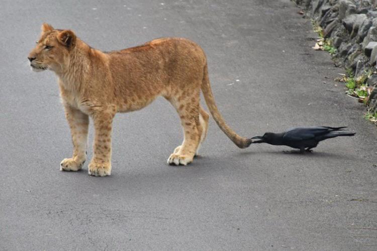 Фото прикол  про льва и ворону