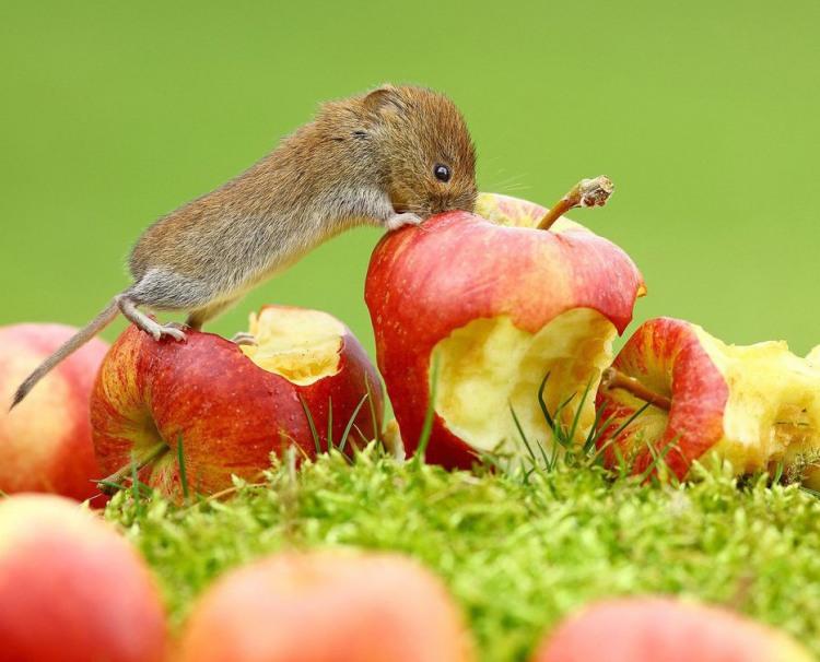 Фото прикол  про мышей и яблоки