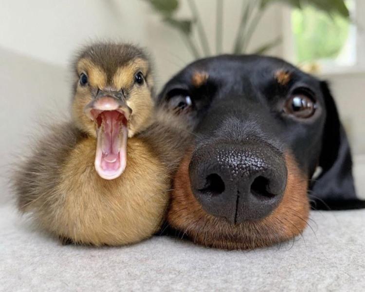 Фото прикол  про собак и утку
